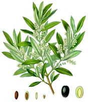olives_botanical