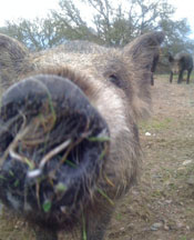 http://www.cuesa.org/sites/default/files/magruder_pig_closeup.jpg