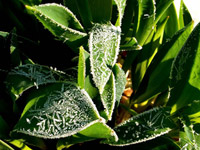 sites/default/files/tulip_leaves_frost.jpg