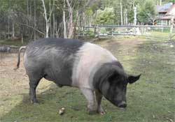 sites/default/files/wheaton_river_jack_the_pig_0.jpg